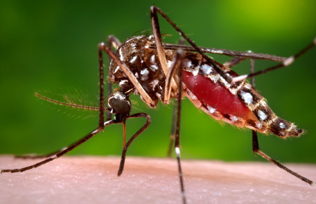 Mosquitos on the Road to Extinction